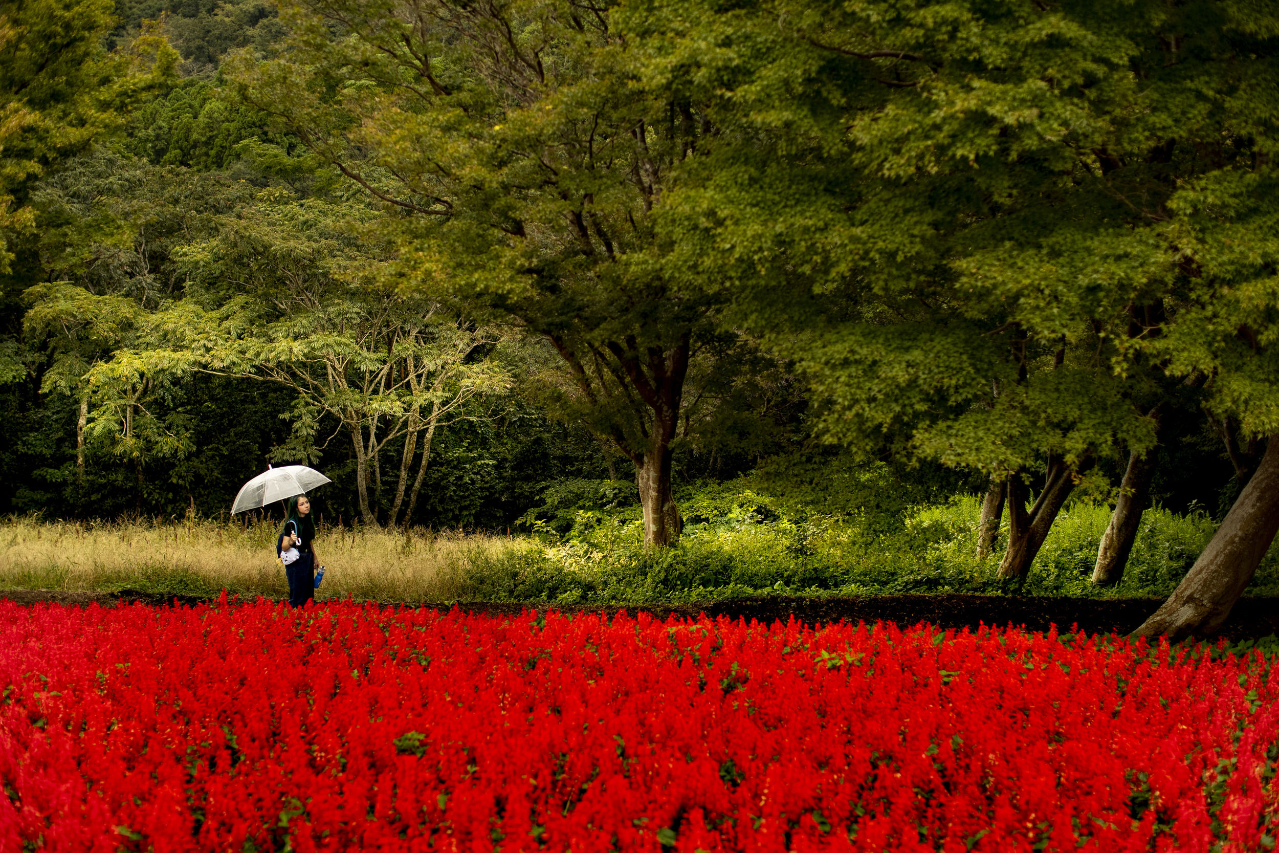 A person holding an umbrella and walking through a field of red flowers in the Japanese countryside.